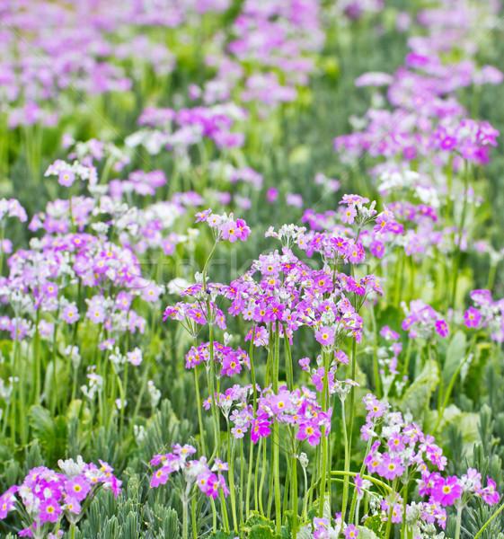 Fransız lavanta çiçek doku bahçe park Stok fotoğraf © myimagine