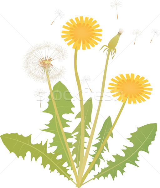Dandelion Stock photo © MyosotisRock