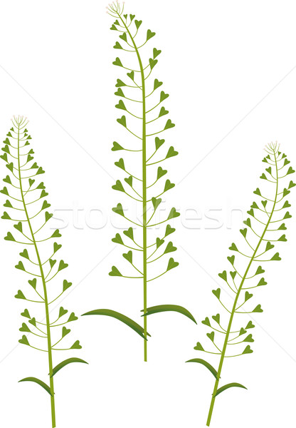 Shepherds purse Stock photo © MyosotisRock