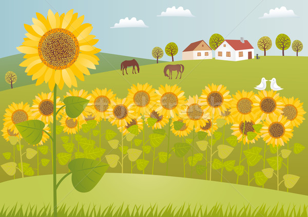 Sunflower fields Stock photo © MyosotisRock