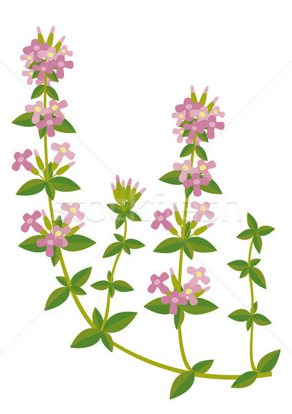 Stock photo: Thymus