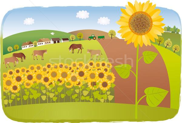 Sunflower fields Stock photo © MyosotisRock