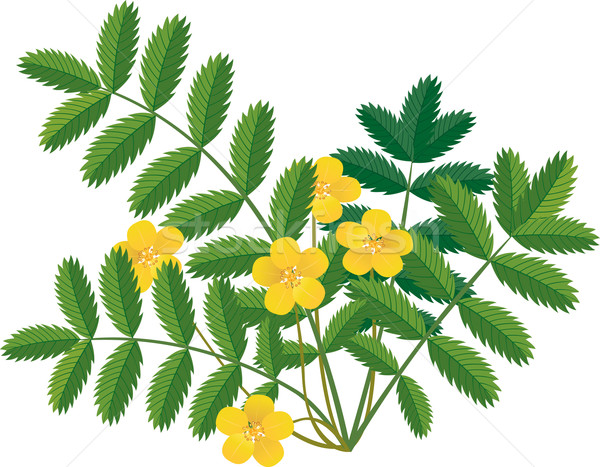 Stock photo: Silverweed - Potentilla anserina