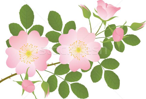 Rosa pequeno ramo rosa flor Foto stock © MyosotisRock