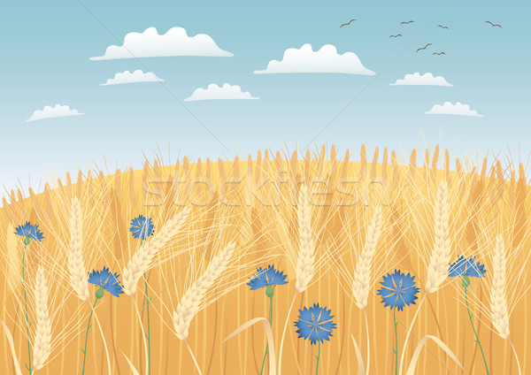 Grain fields Stock photo © MyosotisRock