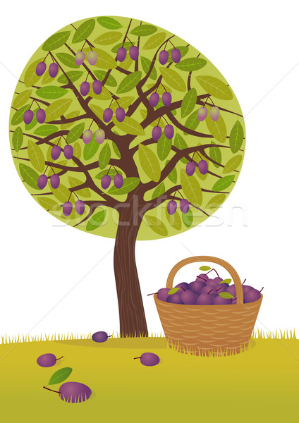 Plum harvest Stock photo © MyosotisRock