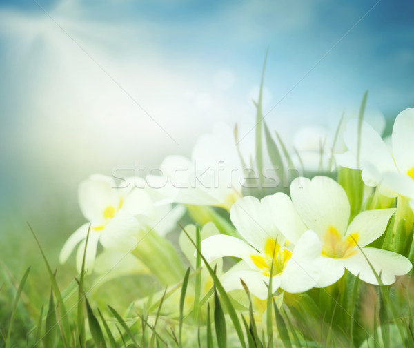Fresco prímula flores primavera prado ensolarado Foto stock © mythja