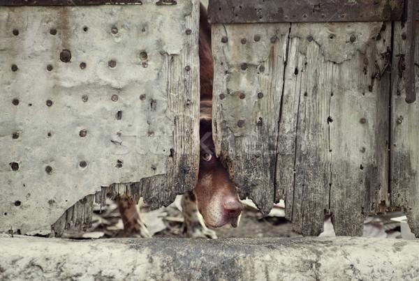 Hond achter deur sterke afbeelding roestige Stockfoto © mythja