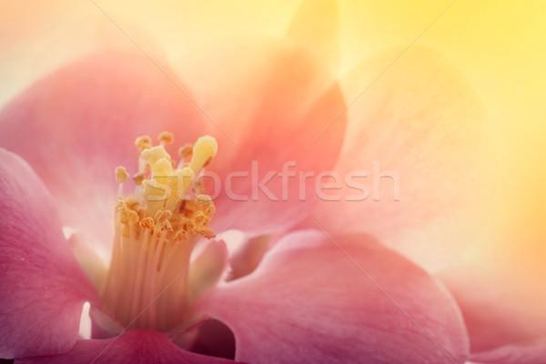 Flor rosa macro floral primavera resumen naturaleza Foto stock © mythja