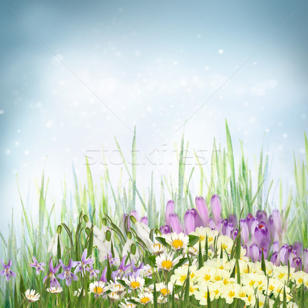 Spring floral background with spring symbol flowers Stock photo © mythja