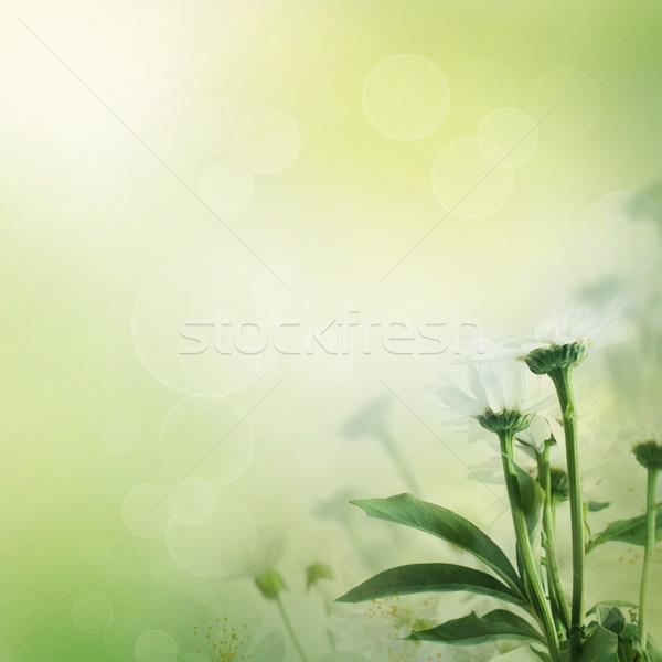 Daisy fraîches fleurs sauvages printemps été design Photo stock © mythja