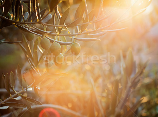 Olive trees farm Stock photo © mythja