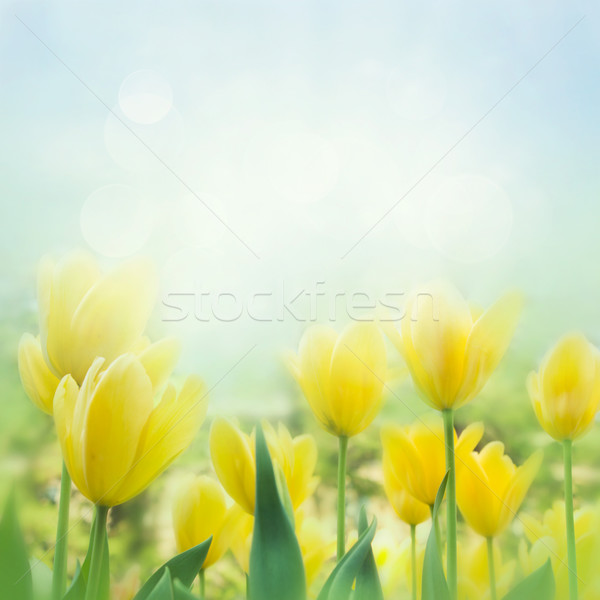 Yellow tulips Stock photo © mythja