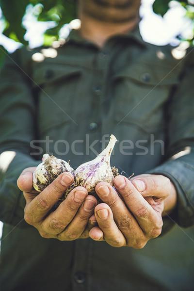Czosnku ręce lata warzyw ogród Zdjęcia stock © mythja
