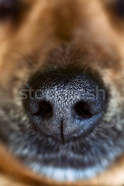 Hond snuit dier neus gelukkig Stockfoto © mythja