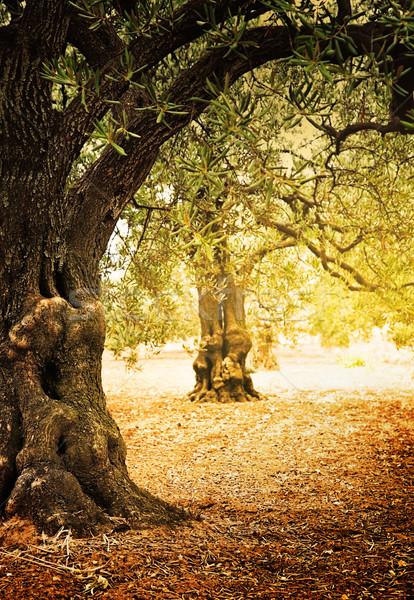 Olajbogyó fák farm mediterrán mező öreg Stock fotó © mythja