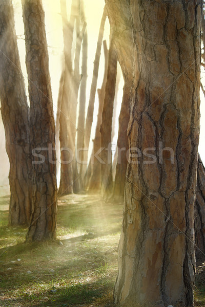 In pine forest Stock photo © mythja