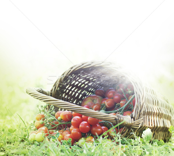 Freshly harvested tomatoes Stock photo © mythja