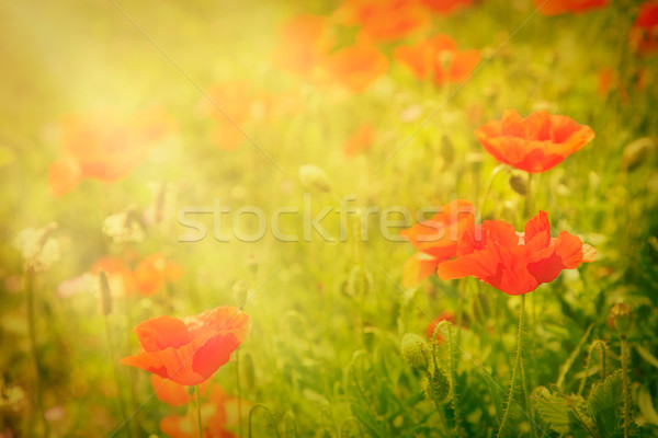 Poppy flower Stock photo © mythja