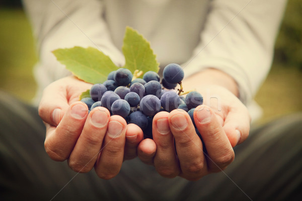 Grapes harvest Stock photo © mythja