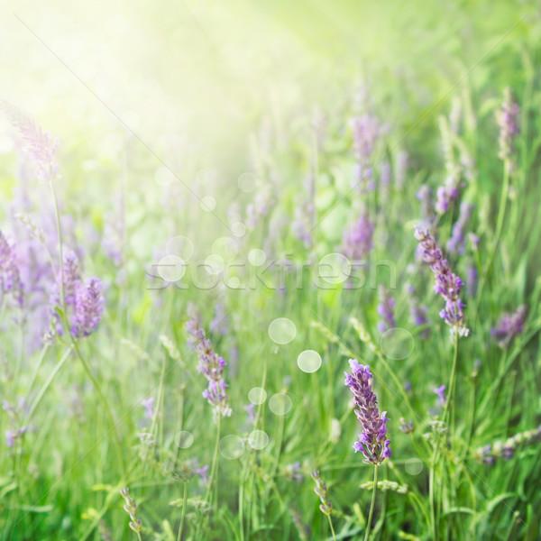 Lawendowe pole kwiatowy lata wiosną dziedzinie lawendy Zdjęcia stock © mythja