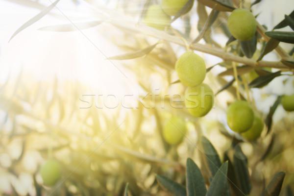 öreg olajfa olajbogyók őszi idény természet kép Stock fotó © mythja