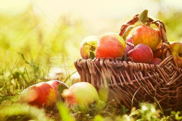 Organic apples in summer grass Foto stock © mythja