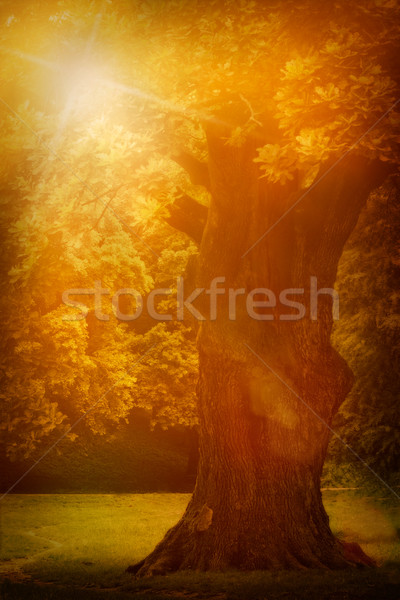 Old oak tree Stock photo © mythja