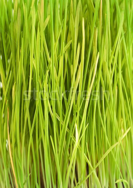 Grass texture Stock photo © mythja