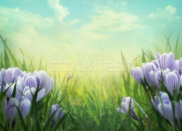 Tavasz tavasz kikerics virágok legelő természet Stock fotó © mythja