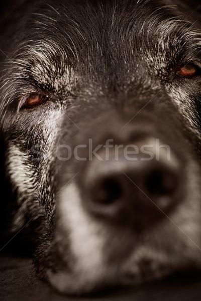 Somnolent chien animaux vieux labrador retriever macro Photo stock © mythja