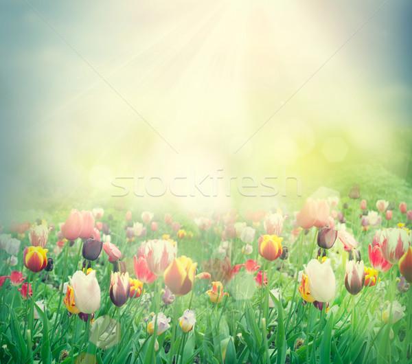Tulipán mező húsvét tavasz háttér tulipánok Stock fotó © mythja