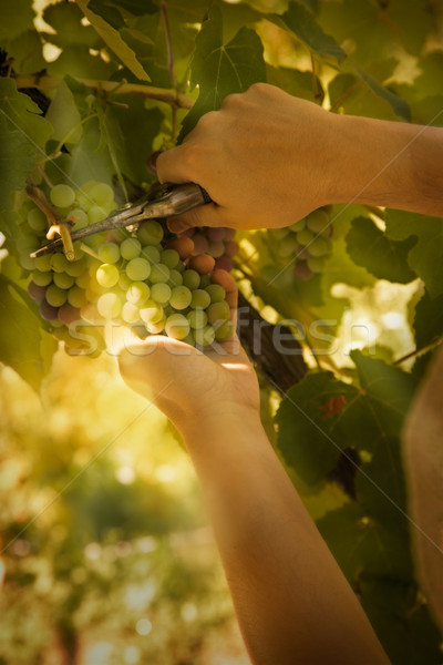 Grapes harvest Stock photo © mythja