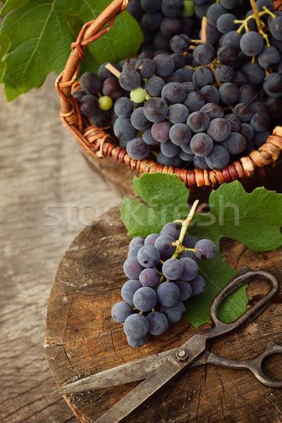 Freshly harvested grapes Stock photo © mythja