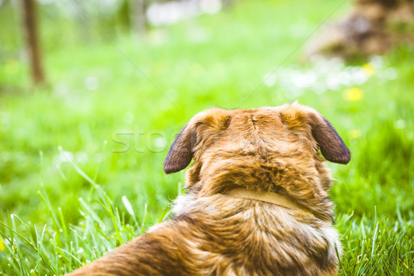 Chien herbe nature heureux yeux Photo stock © mythja