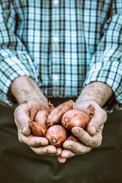 Freshly harvested onion Stock photo © mythja