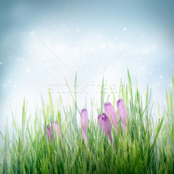 Stock photo: Spring floral background with crocus flowers