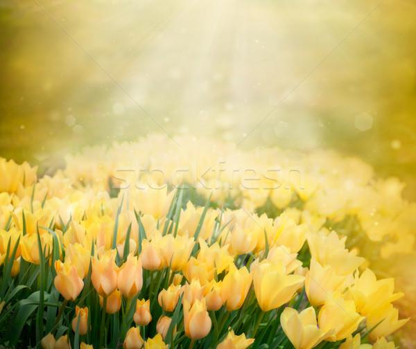 Tulipánok tavasz húsvét gyönyörű citromsárga késő Stock fotó © mythja