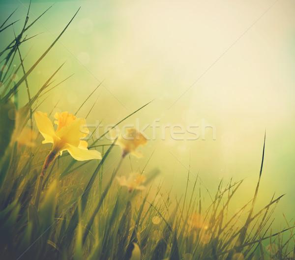 Narcis voorjaar Pasen lentebloemen elegante Stockfoto © mythja
