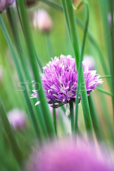 Chives flowers in spring Stock photo © mythja