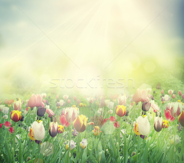 Tulip field Stock photo © mythja