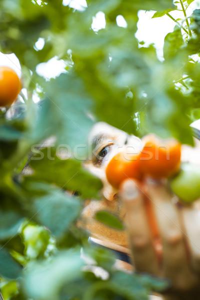 Tomato harvest. Farmer picking tomatoes Stock photo © mythja