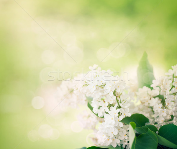 white lilac flowers in the garden Stock photo © mythja
