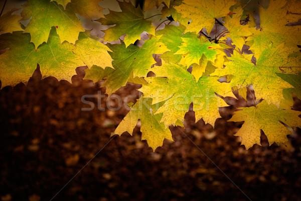 Zdjęcia stock: Kolorowy · jesienią · spadek · pozostawia · sezon