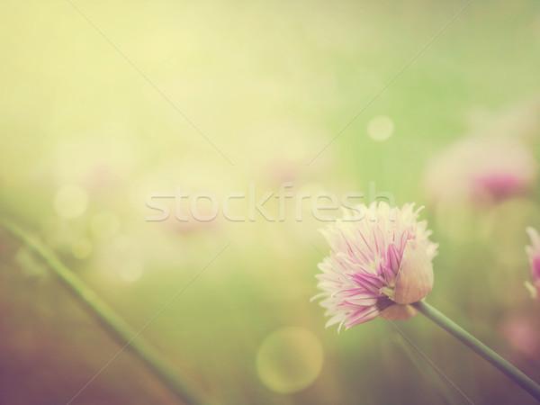 Szczypiorek kwiaty świeże kwiat kolorowy wiosną Zdjęcia stock © mythja