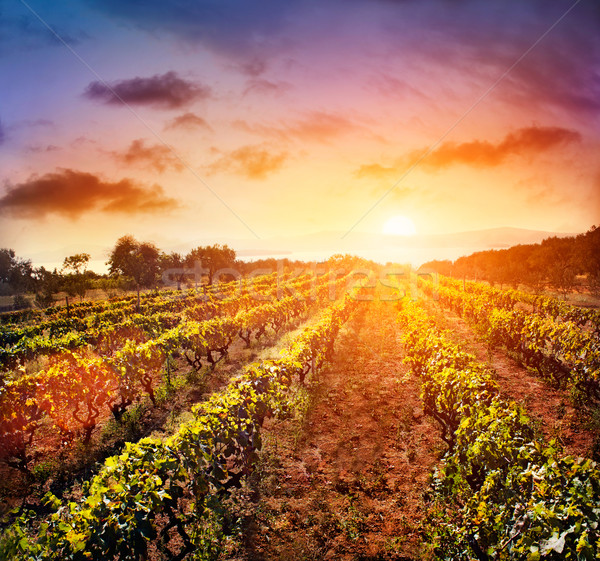 Vineyard landscape Stock photo © mythja