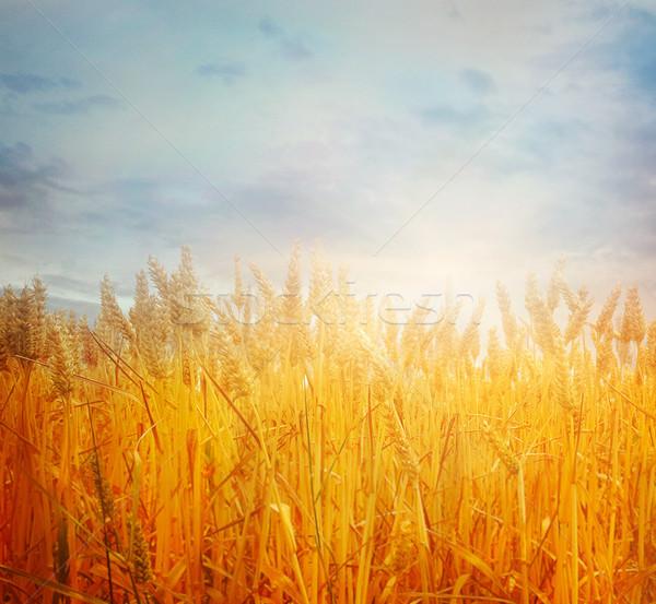 ストックフォト: 麦畑 · 夏 · 美しい · 自然 · 日没 · 風景