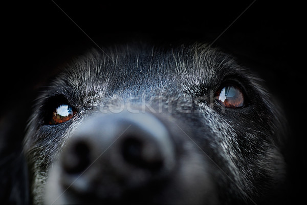 Animale vecchio cane labrador retriever macro shot Foto d'archivio © mythja