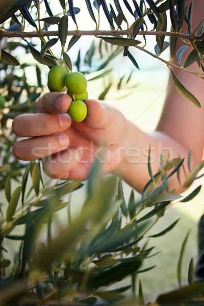 Olive harvest Stock photo © mythja