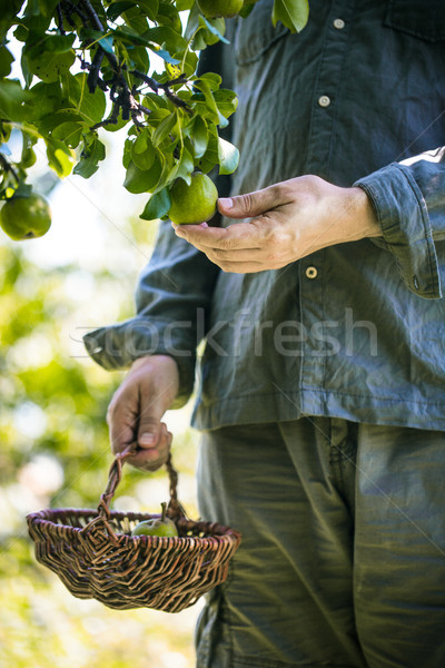 Farmer with Pears. Pears Harvest Stock photo © mythja